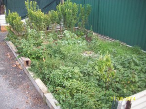 Weed garden, Stinging Nettle , Yarrow, African Marigold, Valerian, Chickweed, Purslane, Basil and Ameranthus.